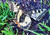 Największy motyl w Polsce. Przepiękny Paź Królowej w Sławnie. Ależ cudo! ZDJĘCIA