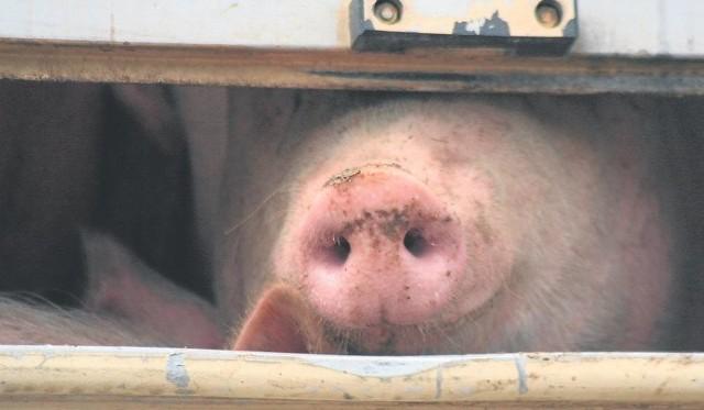 Wpływ wojny handlowej na linii USA-Chiny na unijny rynek wieprzowiny oceniany jest jako niewielki