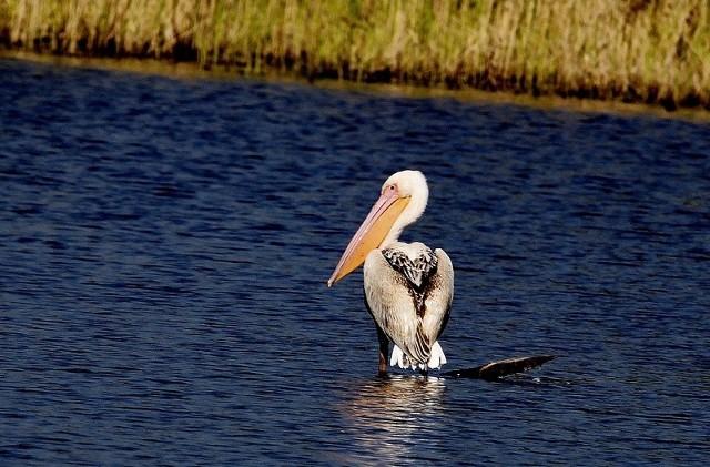Po kolorze upierzenia można przypuszczać, że to pelikan kędzierzawy.