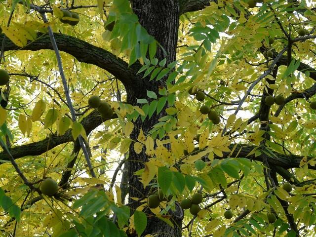 Orzech czarnyOrzech czarny i szary przypominają orzech włoski, ale obydwa pochodzą z Ameryki Północnej.