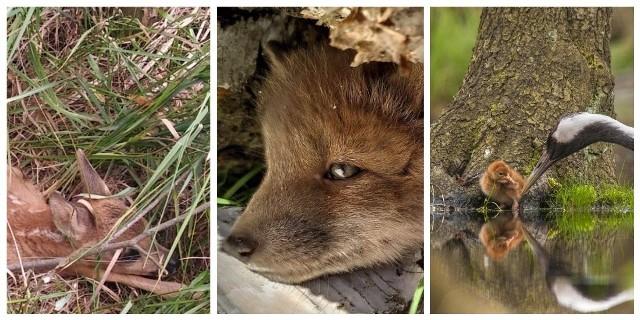Pandemia sprzyja leśnym zwierzętom, którym ludzie nie zakłócają spokoju w ich królestwie. W efekcie wiele zwierzęcych rodzin się powiększa, a leśnicy coraz częściej spotykają przedstawicieli dawno nie widzianych tutaj gatunków. Zobacz zdjęcia na kolejnych slajdach ---->