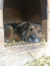 Psy z pseudohodowli w strasznym stanie trafiły do łódzkiej fundacji Niechciane i Zapomniane [zdjęcia, FILM]