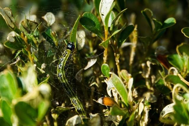 Ćma bukszpanowa to niebezpieczny szkodnik bukszpanów. Jej gąsienice żerują na tych krzewach, najczęściej niszcząc je zupełnie.