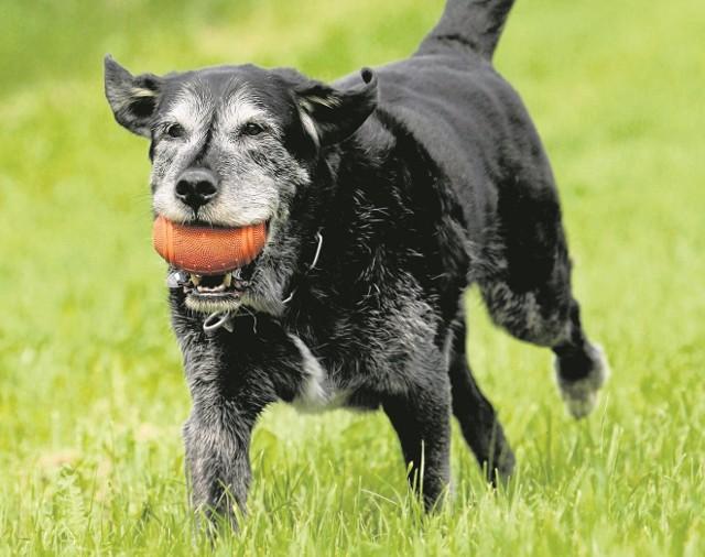 Stare psy potrafią zgubić się na trasie pokonywanej od wielu lat