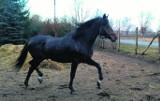 Konie przeżyły piekło, ale żyją
