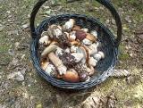 Kiedy zbierać grzyby żeby nie były robaczywe? Jak unikać robaczywych grzybów? Mykolog wyjaśnia, dlaczego grzyby są robaczywe!