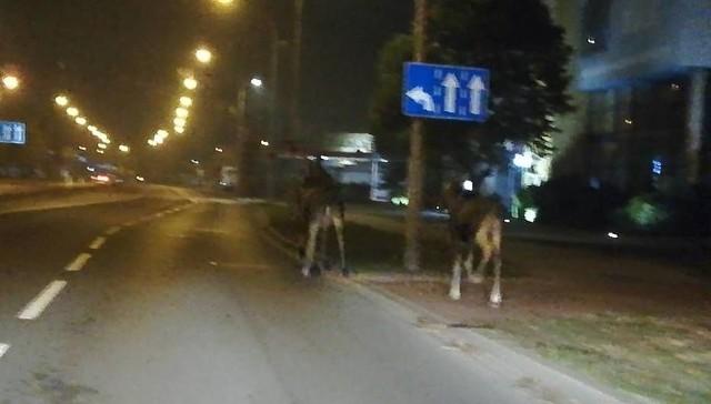 Zwierzęta pojawiły się w Pile na alei Poznańskiej