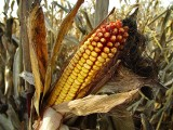Ile kosztuje dzierżawa od hektara? Kto bierze dopłaty - właściciel czy użytkownik gruntu? Rolnicy komentują