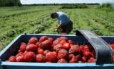 W Szkocji płacą 100 zł za godzinę zbierania truskawek. Inne kraje też zapraszają do pracy sezonowej