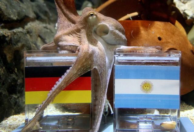 Ośmiornica Paul typowała wyniki Niemców podczas Euro 2008 ia na mundialu w RPA