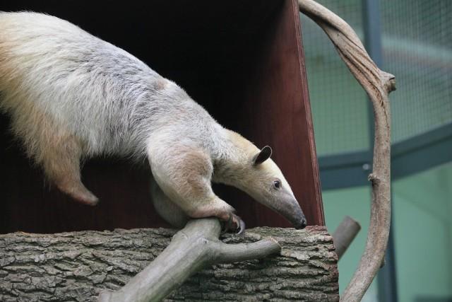 Mrówkojad w łódzkim zoo poznaje swój wybieg