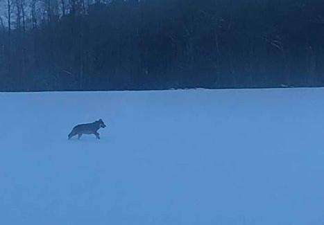 Wilk został sfotografowany w okolicach Suchej Dolnej, w okolicach Szprotawy