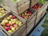 We wtorek w gminie Stegna będą rozdawać jabłka potrzebującym