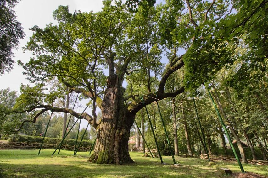 One pamiętają bitwę pod Grunwaldem. Chcesz cofnąć się w czasie? Oto najstarsze drzewa w Polsce. Są świadkami historii