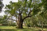 One pamiętają bitwę pod Grunwaldem. Chcesz cofnąć się w czasie? Zobacz najstarsze drzewa w Polsce