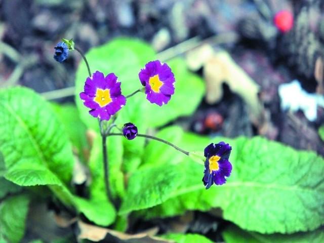 Te pierwiosnki zakwitły w bydgoskim ogródku przy ul. Paderewskiego. A nasi Czytelnicy z Janikowa, Inowrocławia i Koronowa twierdzą, że wiosnę poczuły także szafirki i bzy, które przygotowują się do kwitnienia. Koło Włocławka zakwitły truskawki, a świeży szczypior czy koperek z ogródka pod koniec grudnia już nikogo nie dziwi