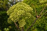 Arcydzięgiel litwor. Co to za roślina, jak ją uprawiać w ogrodzie i jak wykorzystać dzięgiel w kuchni, ziołolecznictwie i kosmetyce