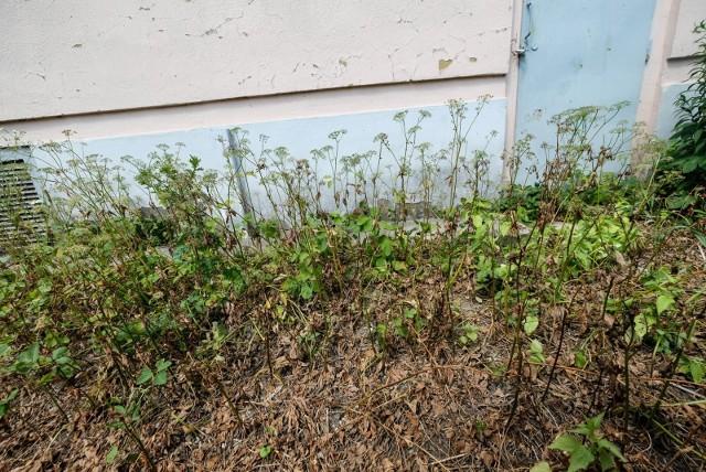 Niebezpieczna roślina przy ulicy Wspólnej to jednak nie barszcz Sosnowskiego.