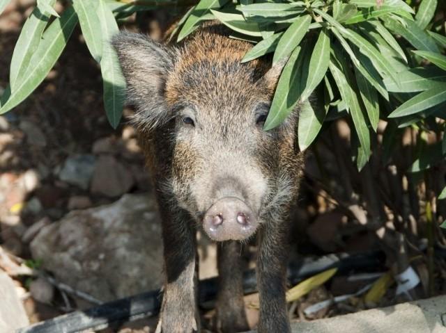 Główny Lekarz Weterynarii wyjaśnia, że 10 dzików wyłowionych z rzeki Obra 28 kwietnia 2014 r. (na terenie powiatu nowotomyskiego w województwie wielkopolskim) nie zdechło z powodu afrykańskiego pomoru świń.