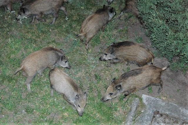 Dziki przy ul. Objazdowej w Zielonej Górze
