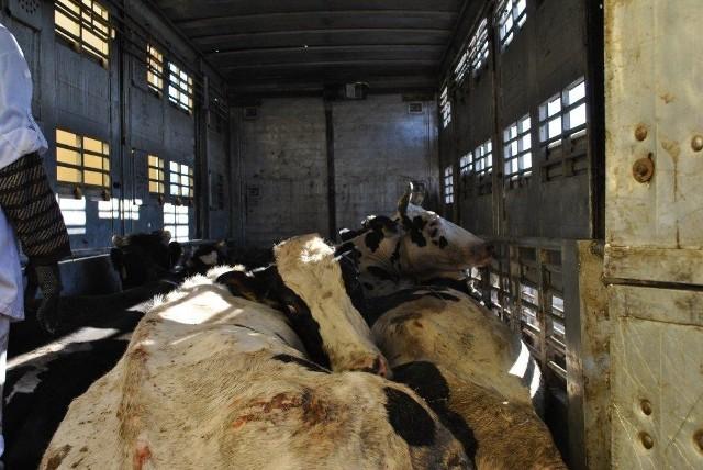 Afery wybuchają najczęściej w krajach, w których nie ma obowiązku ubezpieczania zwierząt.