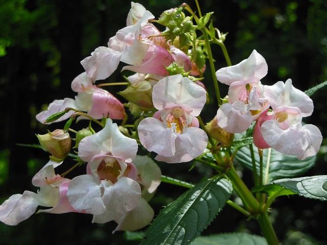 Nie dajcie się zwieść ich urodzie. Są takie rośliny, które choć ładne, są bardzo uciążliwe, a nawet zagrażają rodzimej przyrodzie. Zobacz, na co uważać.