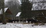 Bogaty jadłospis żubra. Zimą w Puszczy Białowieskiej zwierzęta pałaszują tony pożywienia