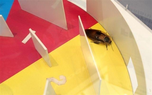Jedną z trakcji targowych są organizowane regularnie… wyścigi karaluchów. Mozna jebedzie oglądać dziś i jutro. fot. D.Łukasik