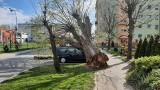 Potężne i spróchniałe drzewo runęło na samochody zaparkowane przy ul. Mickiewicza w Międzyrzeczu. Trzeba było wezwać dźwig ze Świebodzina