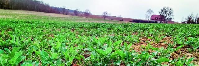 Na wielu polach na Kujawach i Pomorzu widać puste place po wymarzniętych roślinach
