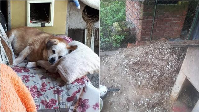 Po lewej pies Żurek w nowym domu, po lewej warunki w których musiał przebywać przez około dwa lata