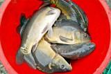 Sprzedaż karpia na wigilię. Gdzie i po ile kupisz żywego karpia? Które sklepy wycofały się ze sprzedaży żywej ryby? Mamy ceny i adresy!