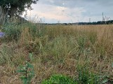 Zwłoki mężczyzny znaleziono w zbożu, niedaleko drogi prowadzącej do lasu w gminie Oborniki