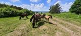 Koniki polskie będzie można spotkać w czasie spaceru nad Nidą