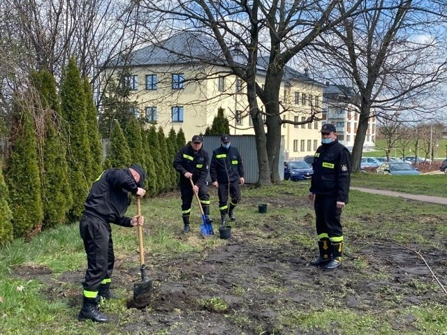 Strażacy z Sędziszowa zasadzili sto drzew na 100-lecie Związku Ochotniczych Straży Pożarnych w Polsce.