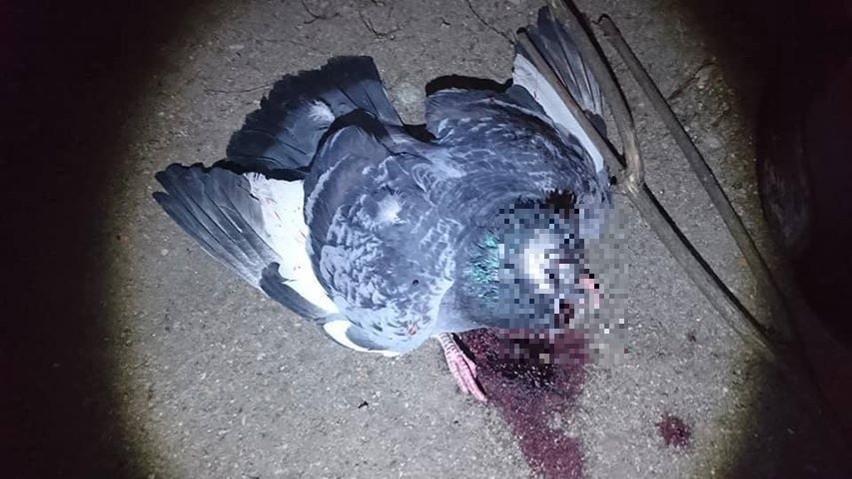 Sadysta w bestialski sposób zabił w Suwałkach pięć gołębi