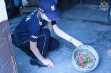Wąż zbożowy pełzał po podwórku w Malborku. Policja poszukuje właściciela gada [zdjęcia]