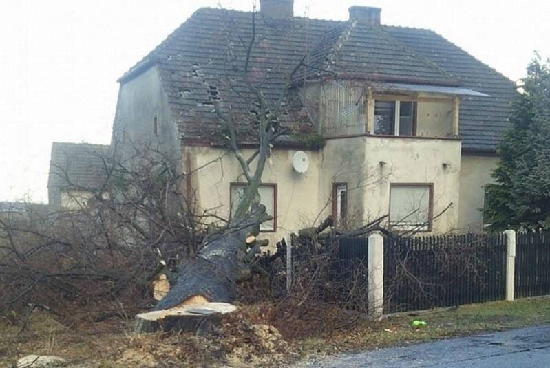 Drzewo runęło podczas prowadzonej przy drodze wycinki.