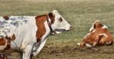 Pogłowie bydła w Polsce. GUS podał dane z czerwca 2019 roku