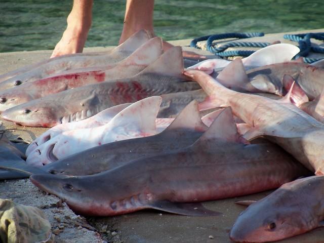 W Chorwacji występuje ok. 30 gatunków rekinów, w większości niegroźnych dla człowieka.