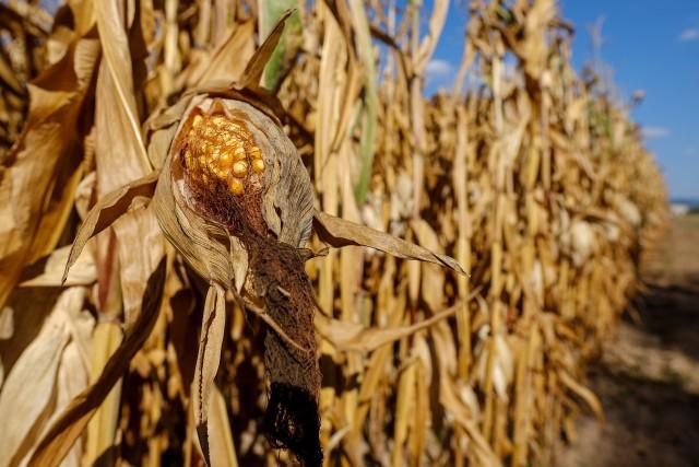 Konsekwencją suszy są mniejsze zbiory. Jedynym pozytywnym aspektem jest poziom wilgotności zbieranej kukurydzy
