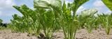 Kwota cukrowa zniknie - upraw buraków w Polsce przybędzie