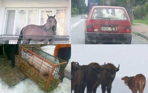 Pamiętacie słynnego konia na balkonie, bohaterską świnkę - uciekinierkę czy cielaka w fiacie? Przypominamy najciekawsze zdjęcia, które stały się popularne w sieci.