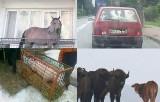 Koń na balkonie i bohaterska świnka. Te zwierzaki z regionu podbiły internet (zdjęcia)