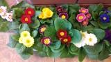 Trochę wiosny w środku zimy - kwiaty cięte i doniczkowe