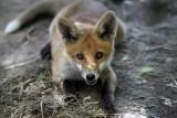 Nowe przypadki wścieklizny u zwierząt w Polsce. To śmiertelna choroba, również dla ludzi [objawy]