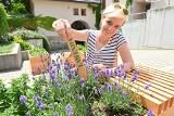 W Kielcach stoją zielniki miejskie z całą masą dobroczynnych ziół. Każdy chętny może je zerwać i zabrać do domu [WIDEO, FOTO]