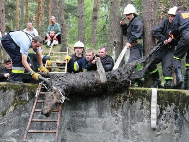 Przestraszony łoś brodził w wodzie na dnie betonowego zbiornika. Wyciągnęli go strażacy i leśnicy.