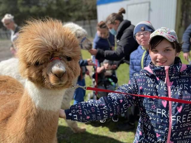 Alpaki przyjechały do Adamowa już po raz kolejny. Dla dzieci to zabawa, która jest też elementem rehabilitacji.