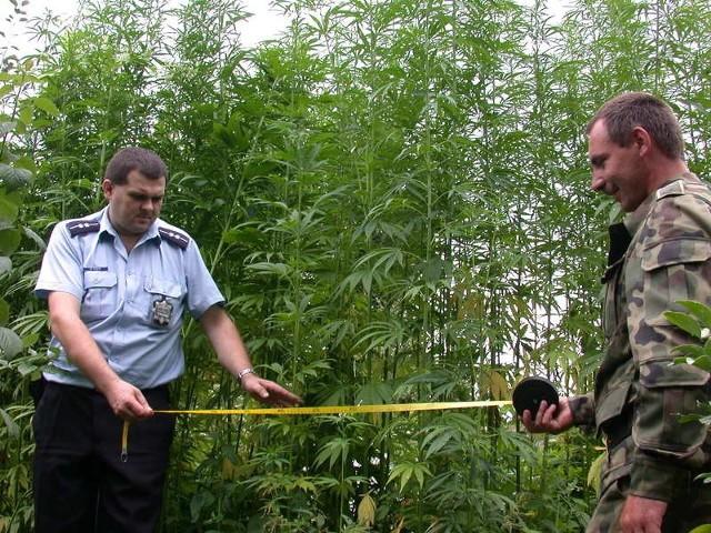 Funkcjonariusze policji i Straży Granicznej wspólnie zlikwidowali nielegalną uprawę konopi.